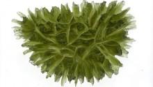 Moldavite - Besednice (hedgehog)